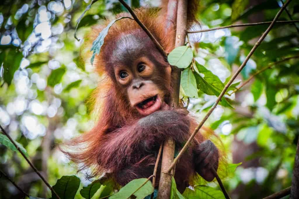 A baby orangutan hanging in a tree