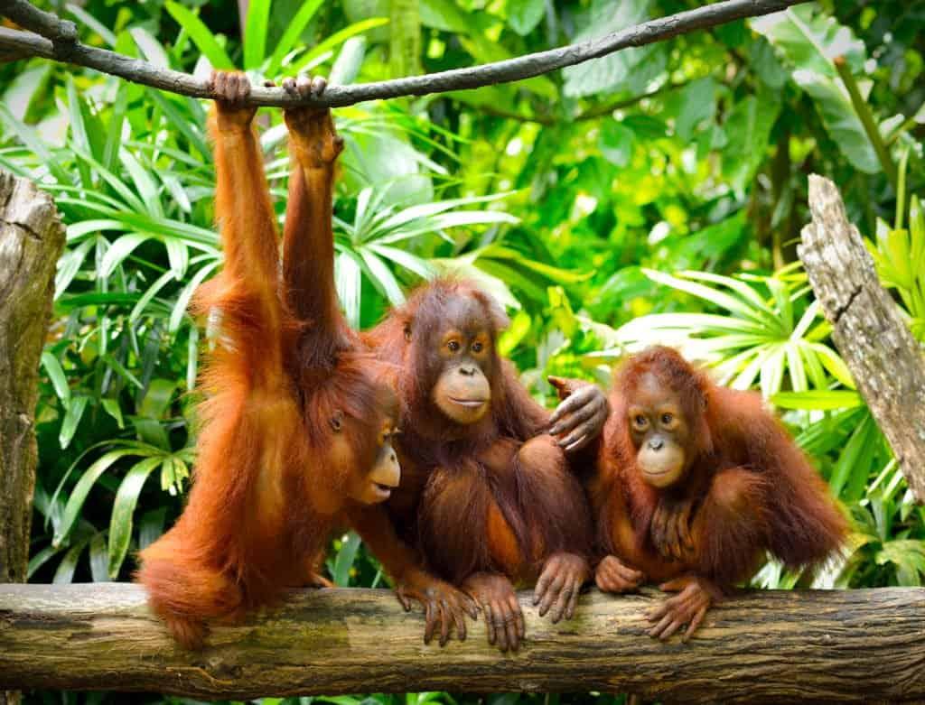 A group of orangutans sitting on a fallen tree.