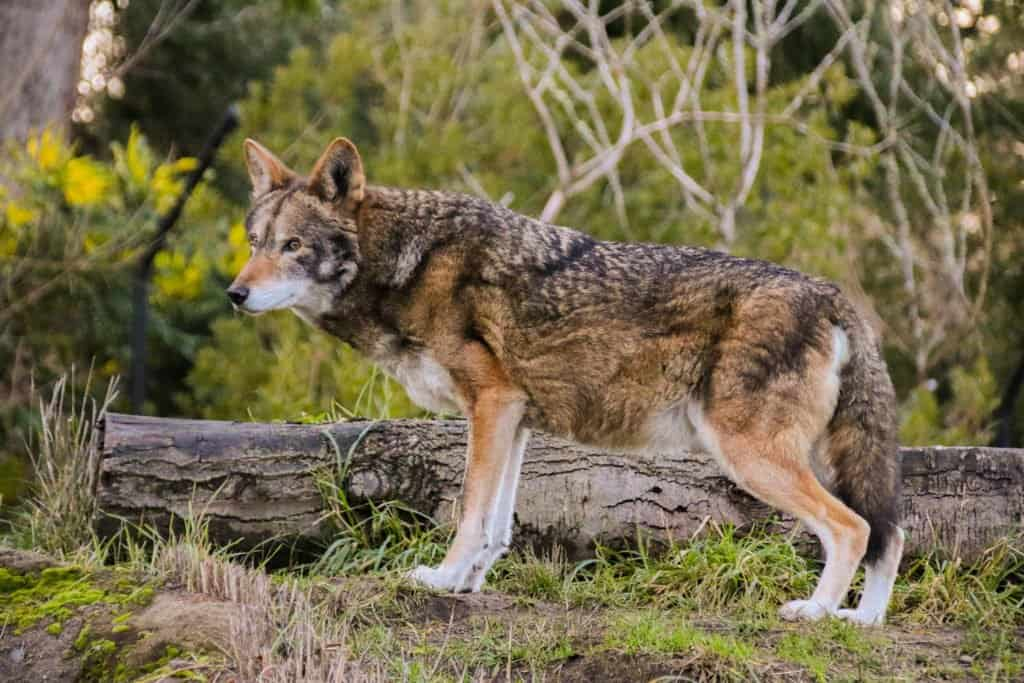 A red wolf looks alert in a forest.