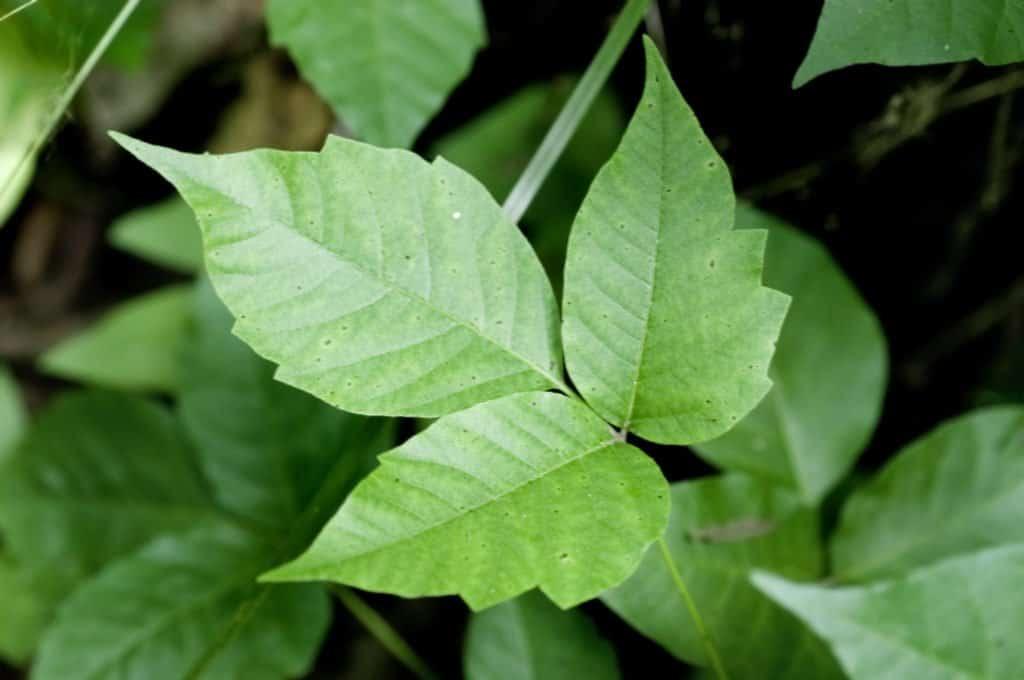 Imagen de primer plano de hojas de hiedra venenosa.