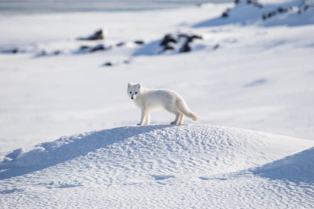 An Arctic fox standing attentively in a snowy habitat.