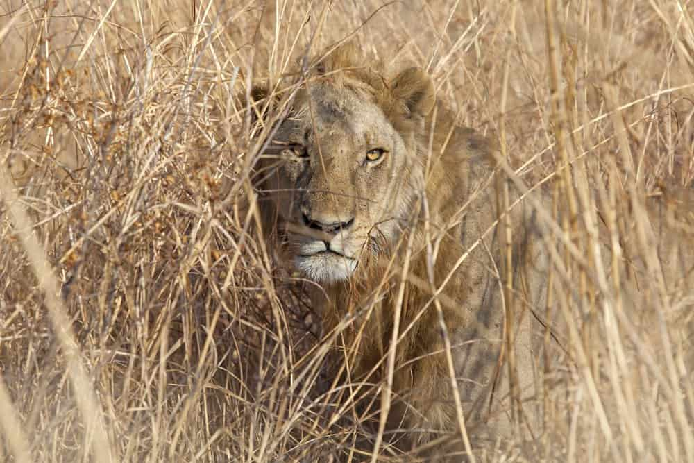A lion crouching in tall grass.
