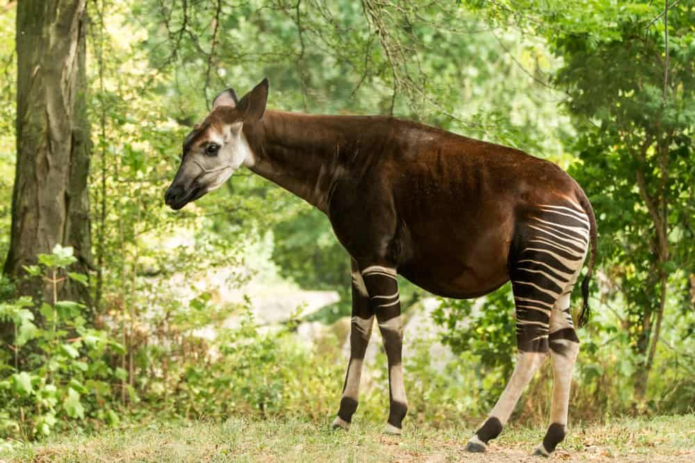 An okapi walking through a forested area.