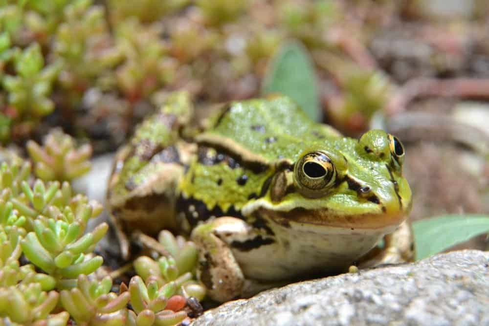 A pool frog sitting on the edge of a pond surrounded by vegetation.