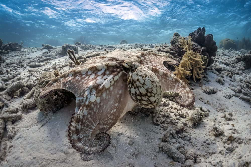 An octopus blending in with the surrounding reef habitat.