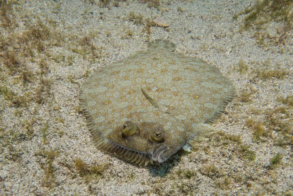 A flounder laying flat on the sandy ocean floor.