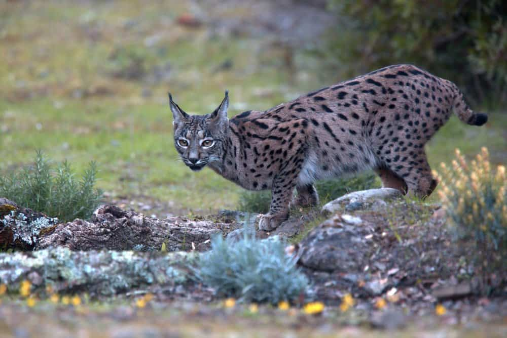 An Iberian lynx crouching near a small body of water.