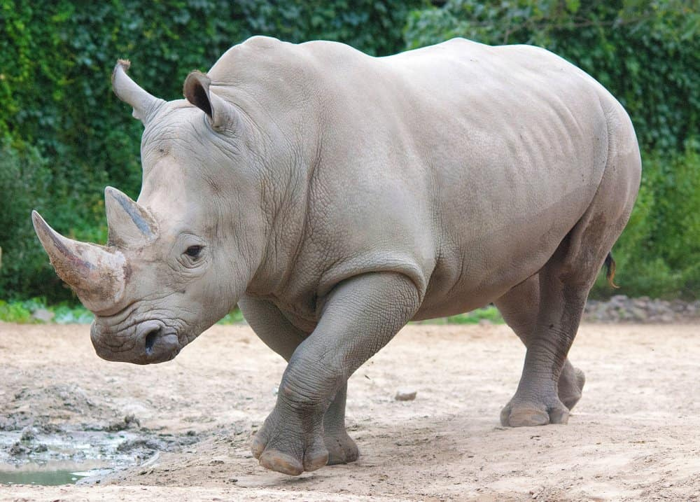 A white rhinoceros walking in the dirt near a puddle with vegetation in the background.