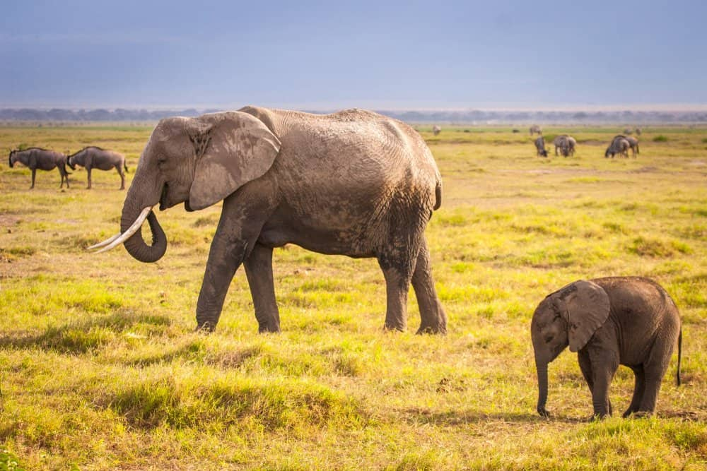 A mother and baby African elephant walking through a green field with other grazing animals in the background.