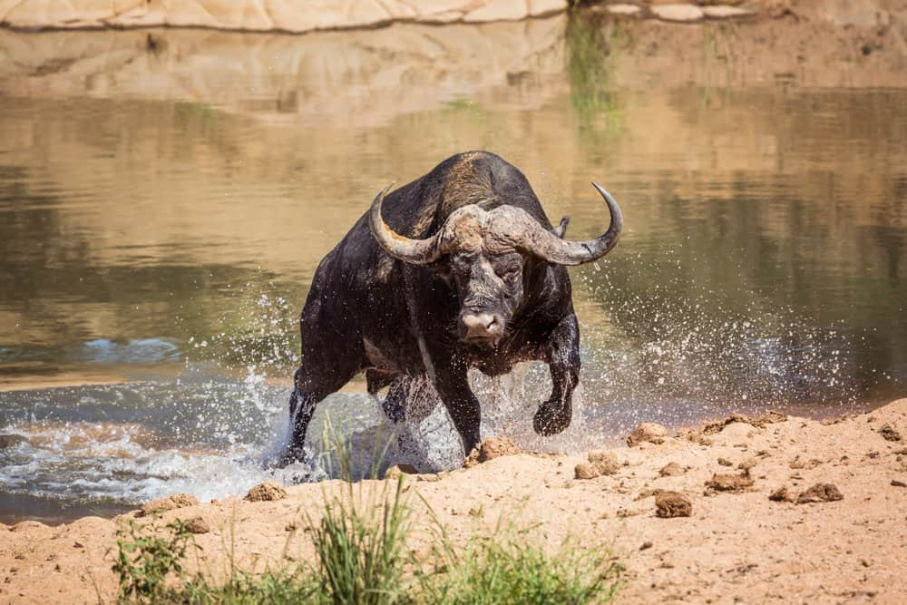 A buffalo running out of a body of water.