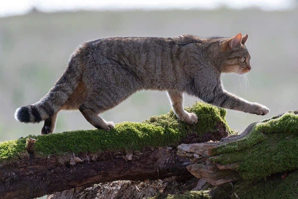 Un gato montés europeo caminando sobre árboles caídos cubiertos de musgo.