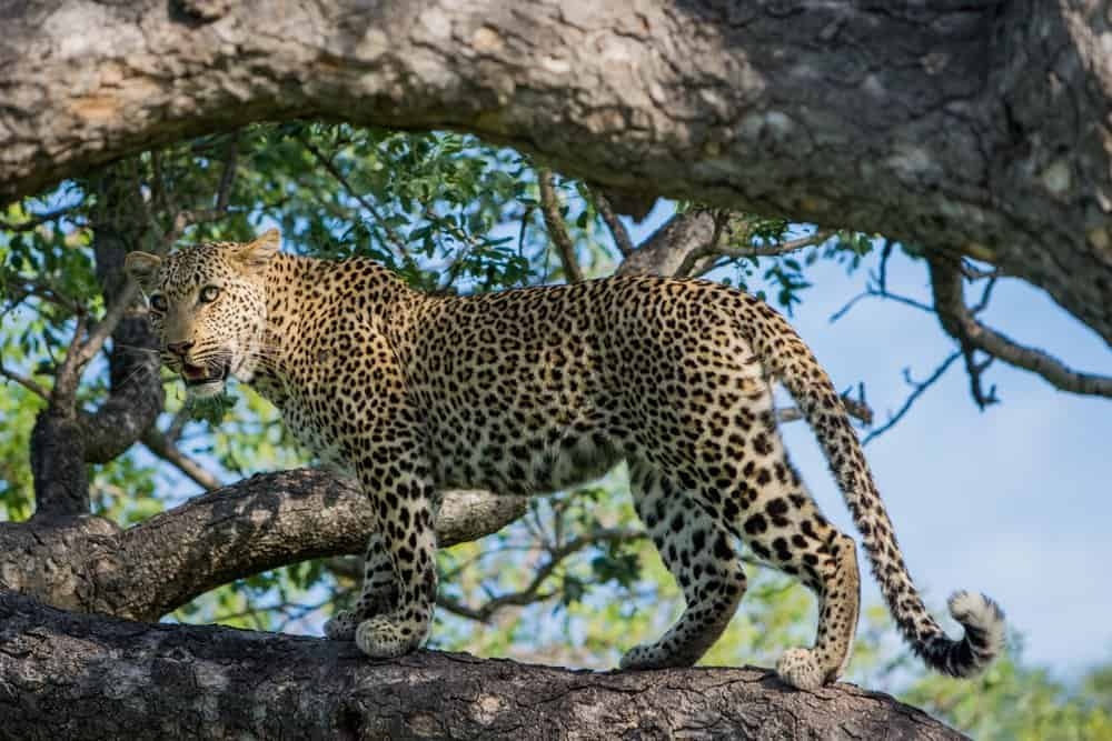 A leopard standing on a tree branch looking attentive.