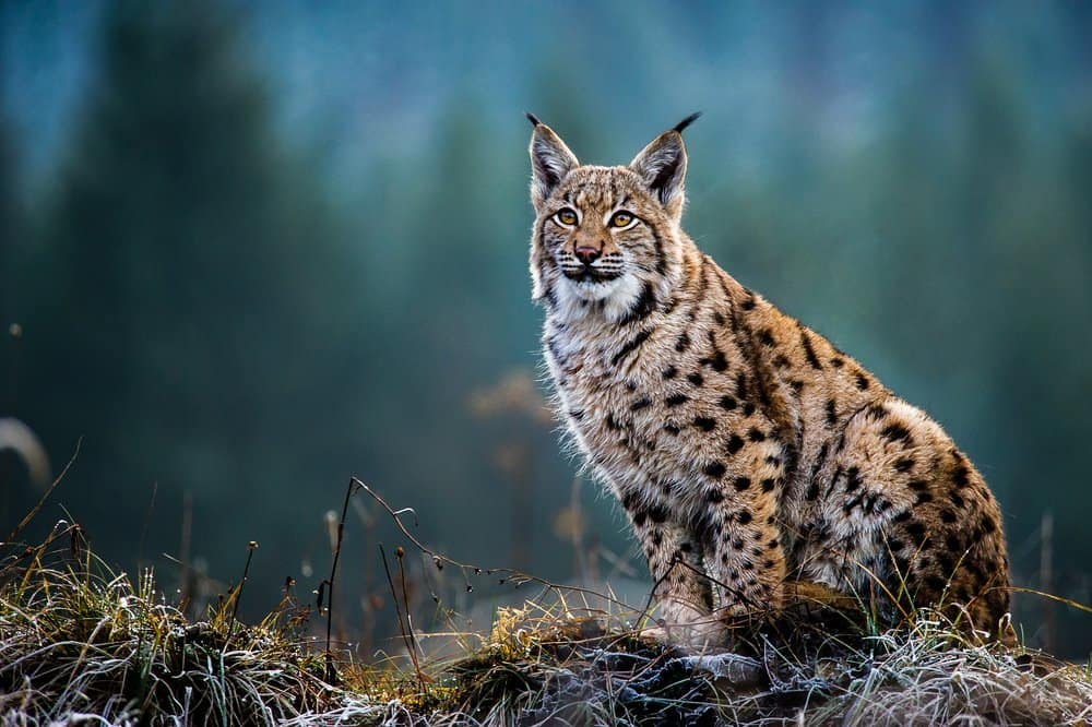 A Eurasian lynx sitting on a grassy hill with trees in the background.