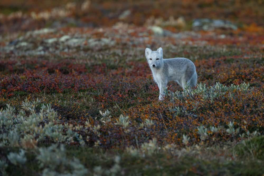 Un zorro ártico de pie en un campo de plantas bajas rojas, naranjas y verdes.