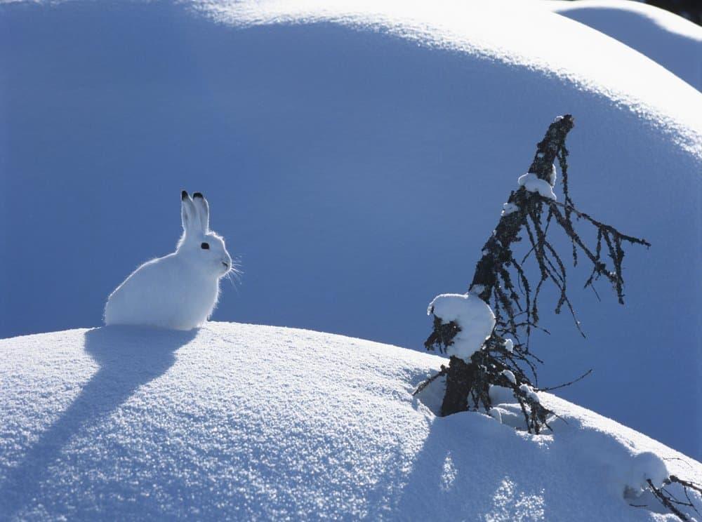 Una liebre ártica sentada sobre un montículo de nieve blanca con una rama de árbol asomando.