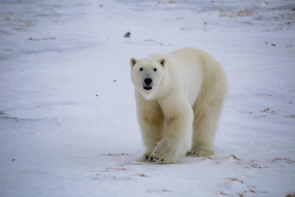Un oso polar caminando por un paisaje nevado.