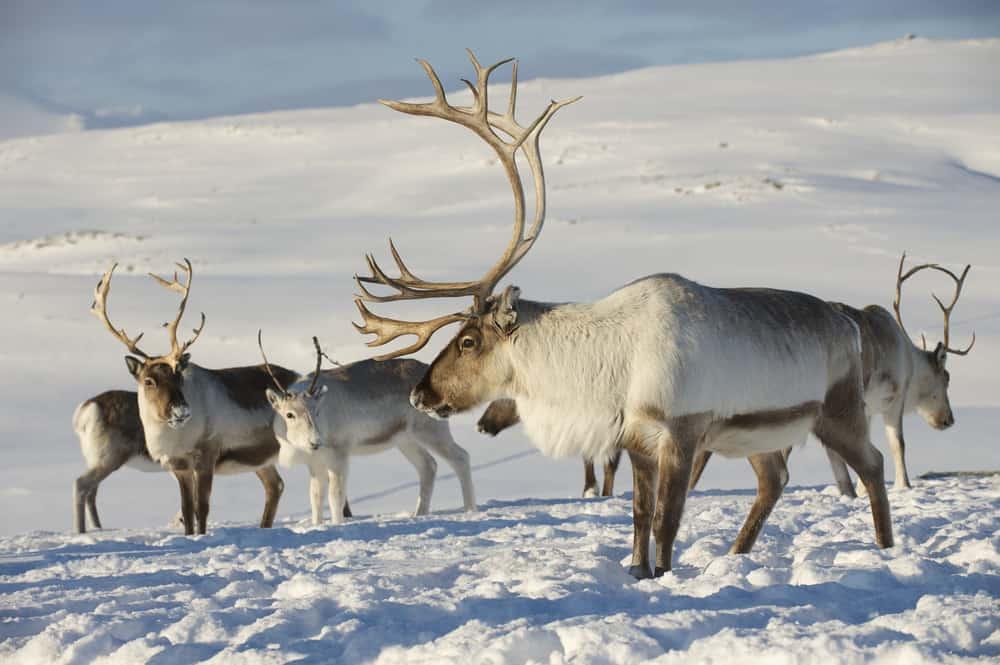 Un grupo de renos de pie en un paisaje nevado.  El reno en primer plano tiene grandes astas curvas.