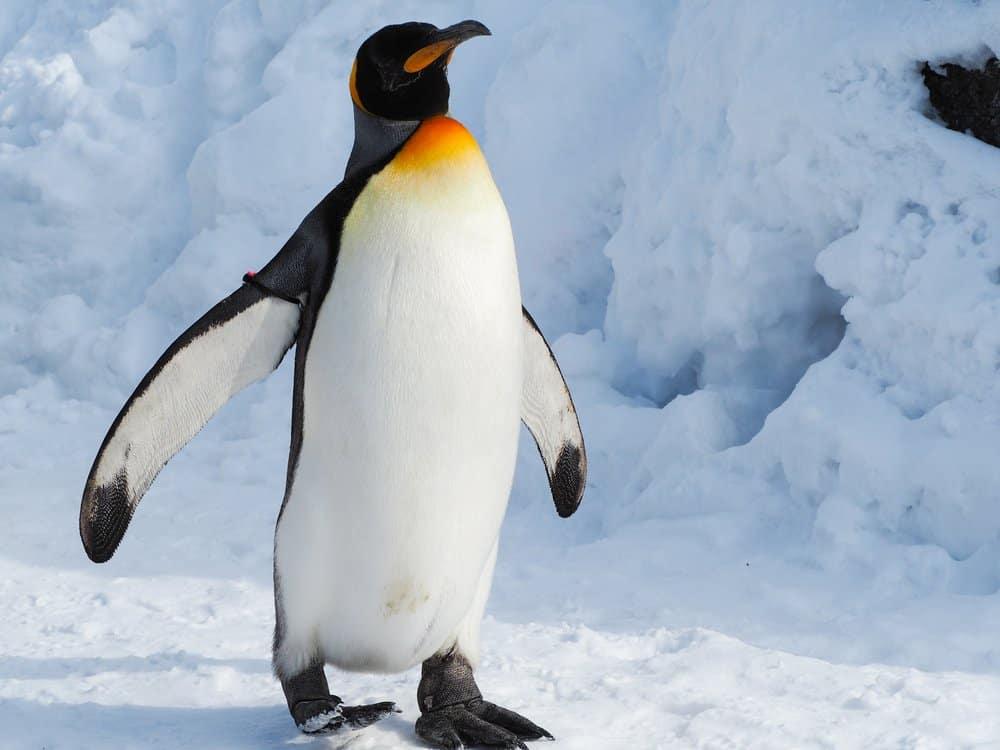 Un pingüino emperador caminando por un paisaje nevado y helado.