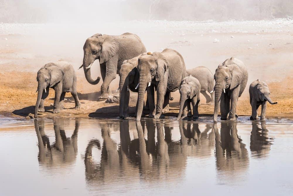 Un grupo de elefantes africanos bebiendo de un cuerpo de agua.
