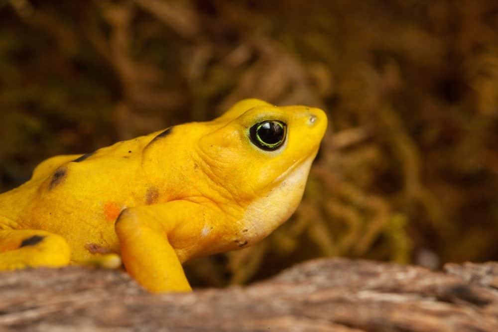Un primer perfil lateral de una rana dorada panameña con vegetación en el fondo.