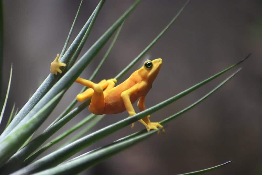 Una rana dorada panameña en equilibrio sobre una planta similar a la hierba.