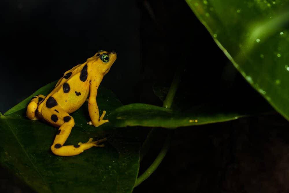 Una rana dorada panameña posada sobre una hoja ancha.