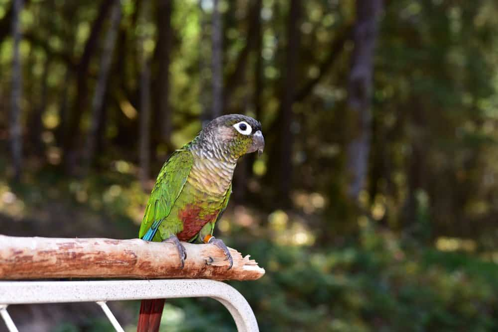 A tagged Green-Cheeked Parrot perched on a tree branch with trees in the background.