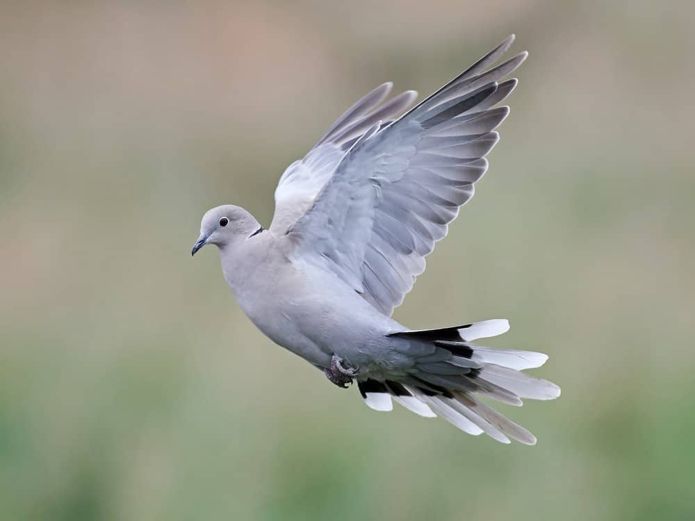 A collared dove with it's wings expanded in mid-flight.