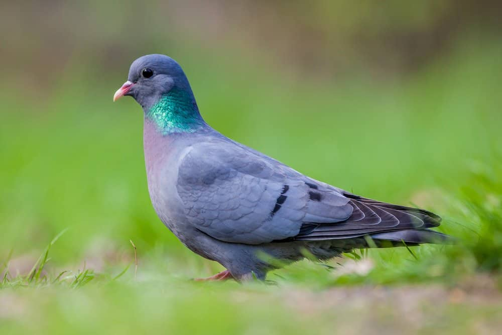 A stock dove standing in the grass.