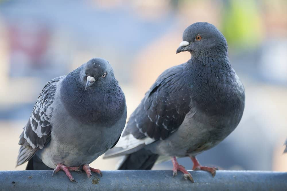 Two feral pigeons perched on a metal bar.