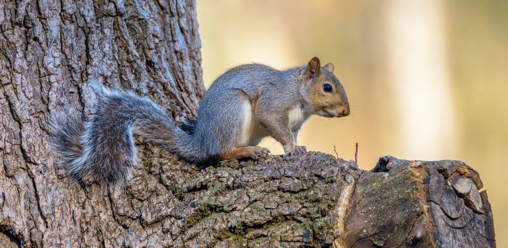 Grey squirrel in an oak tree.