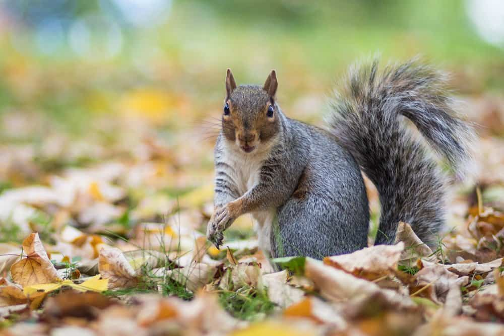 A grey squirrel standing in the grass surrounded by fallen leaves.