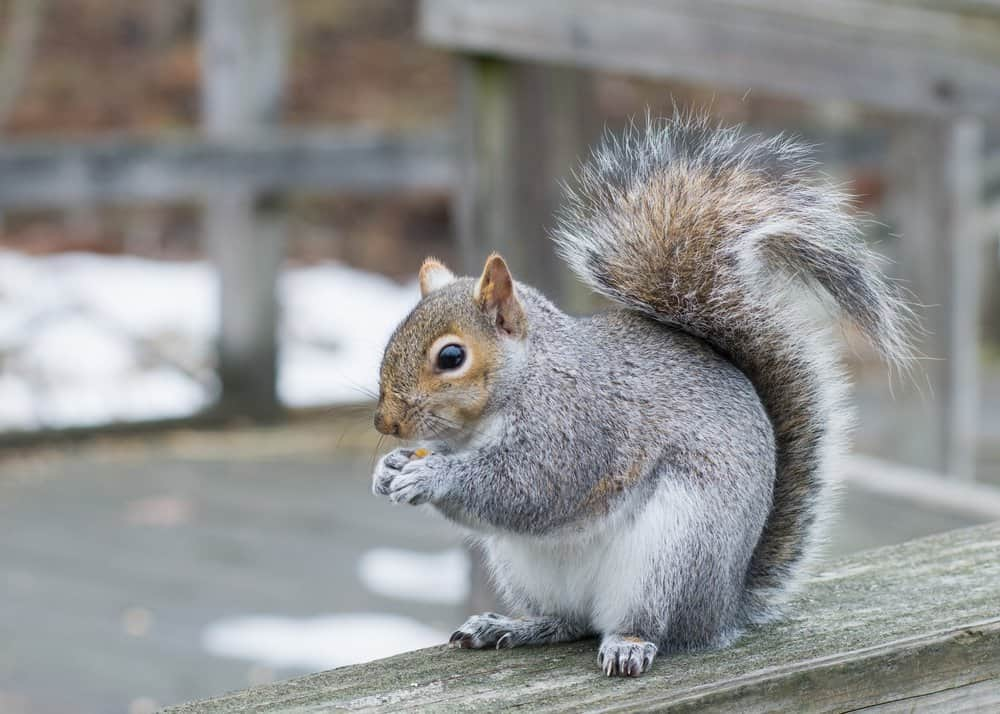 A grey squirrel perched on a wooden ledge eating seeds.