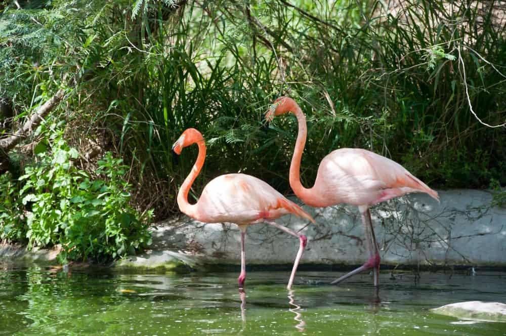 Dos flamencos caminando en un cuerpo de agua con hierbas y plantas verdes en el fondo.