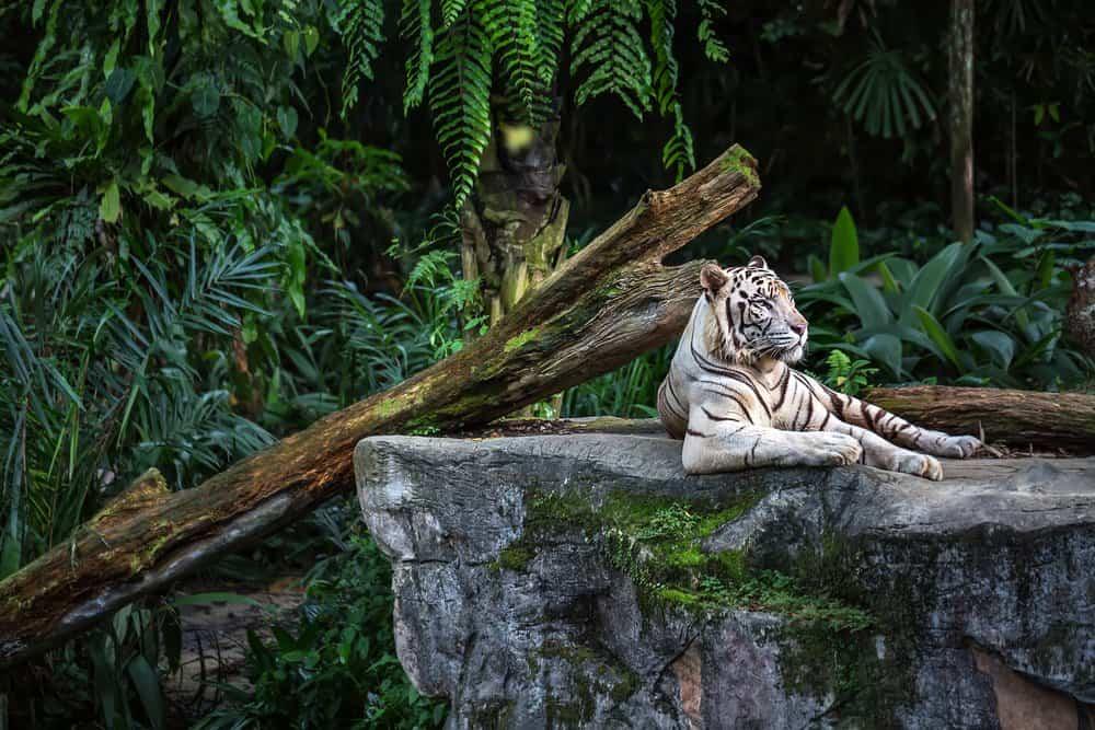 Un tigre blanco tendido sobre una roca cerca de un tronco con follaje verde en el fondo.