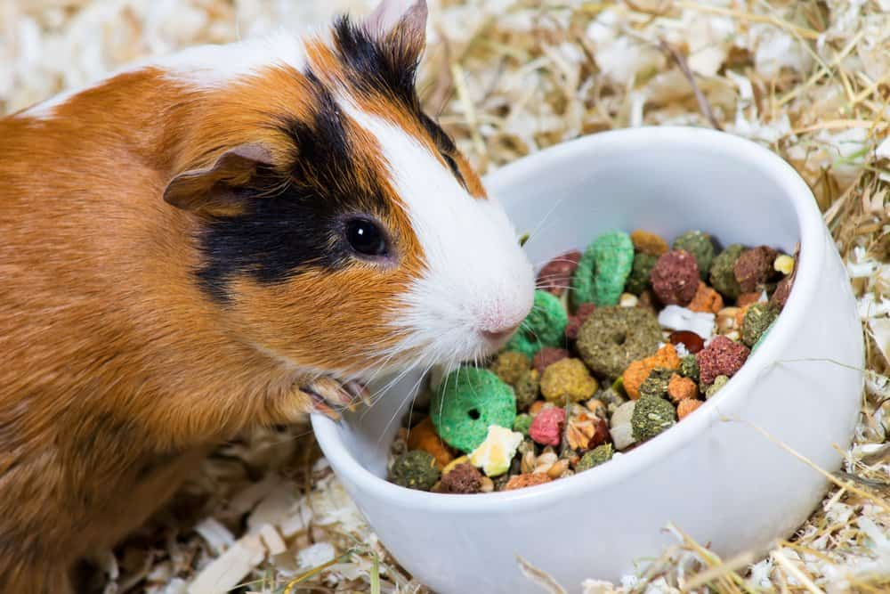 A calico Guinea Pig with its hand on a white ceramic food bowl, eating dry pet food.