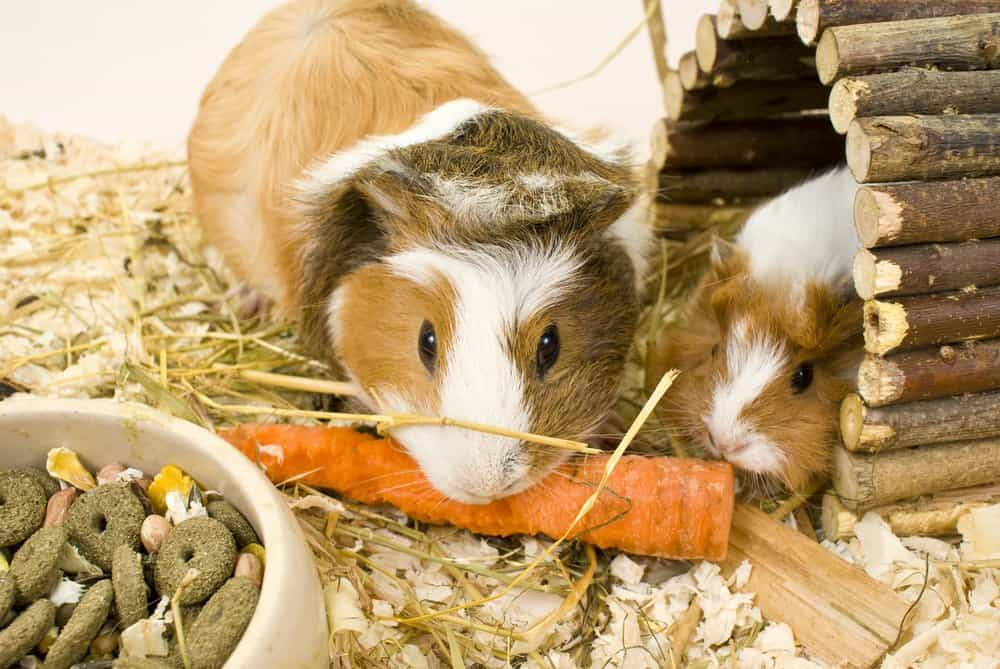 Two white and tan Guinea Pigs eating an orange carrot near a bowl of dry pet food in an enclosure. One of the Guinea Pigs is sitting inside a wooden house made of sticks.