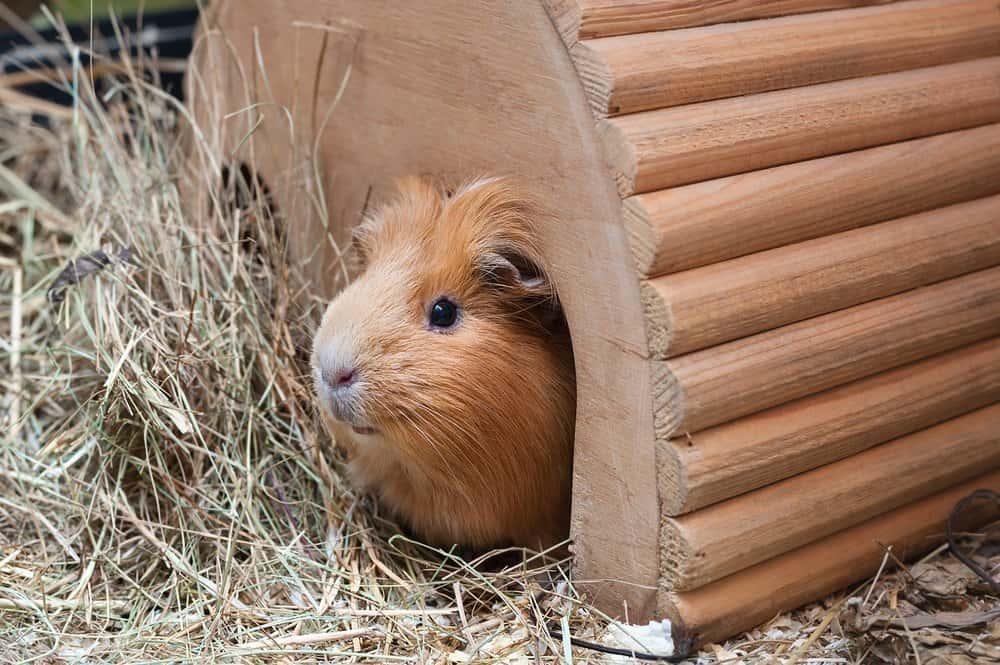 Un conejillo de Indias de color marrón rojizo asoma desde una casa de madera cerca de un montón de paja.