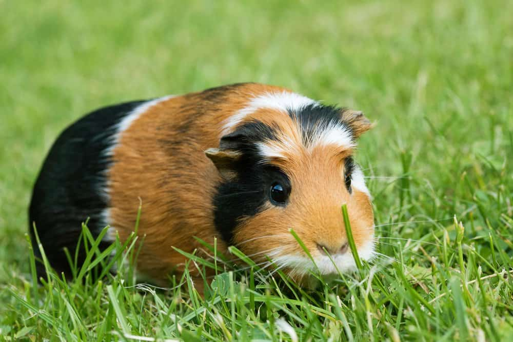 A calico Guinea Pig sitting in a green grass lawn.