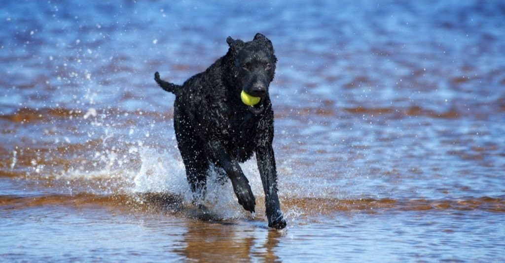black curly coated retriever dog on the beach