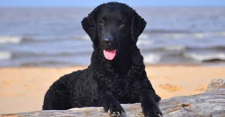 Curly coated retriever on a seaside