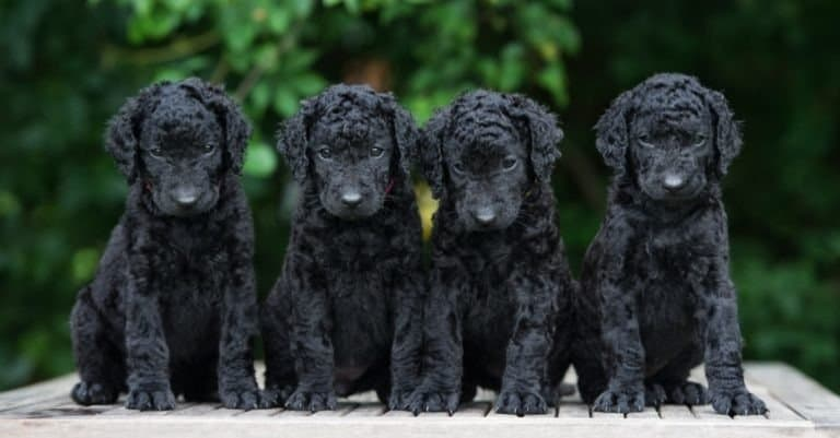 Curly Coated Retriever puppies sitting on table