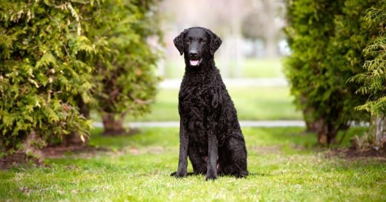 Black curly coated retriever dog sitting on grass