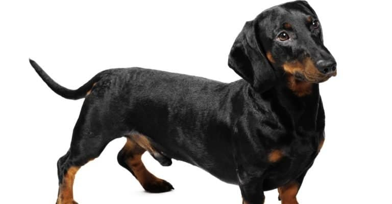 3-year-old Dachshund in a studio in front of a white background.