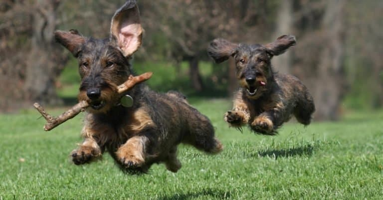 Two wire-haired Dachshunds playing.
