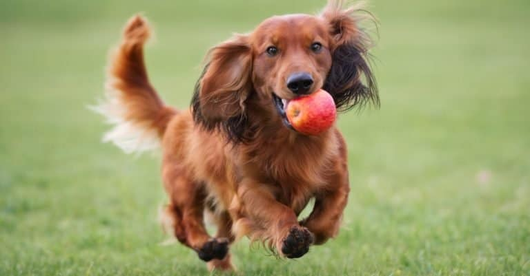 Happy Dachshund dog playing with an apple outdoors.