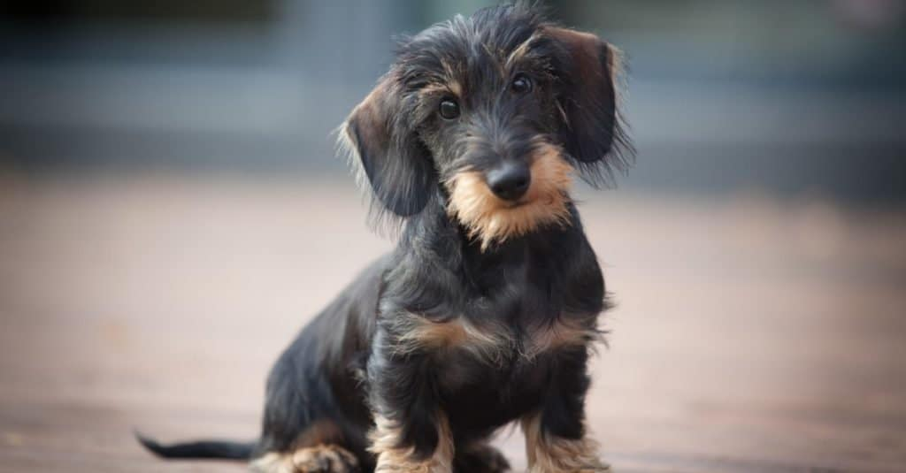 Cute and shy wire-haired Miniature Dachshund puppy.