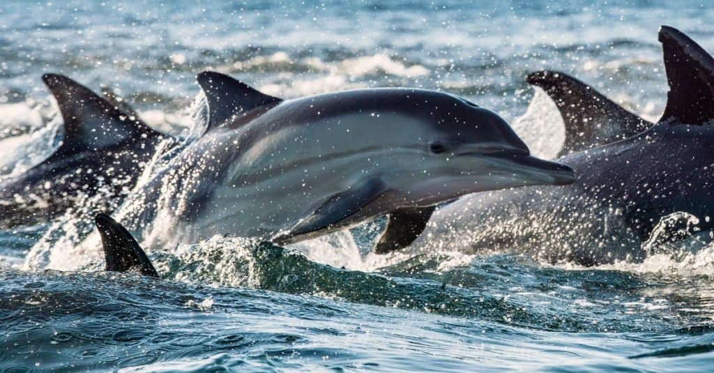 Dolphins, swimming in the ocean and hunting for fish. The Long-beaked common dolphin in Atlantic ocean.
