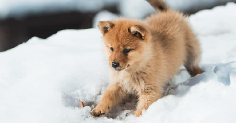 A Finnish Spitz puppy playing in the snow
