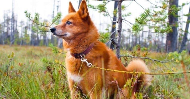 Finnish Spitz sitting in a field